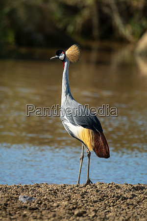 grey crowned crane stands on muddy