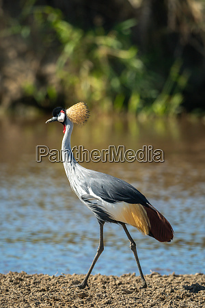 grey crowned crane walks along muddy