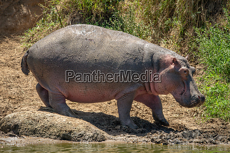 hippo walks along muddy riverbank in