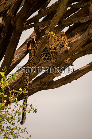 leopard lies in euphorbia