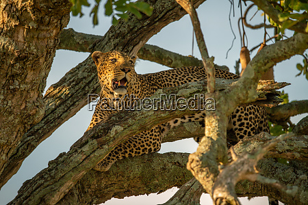 leopard lying in tree among tangled