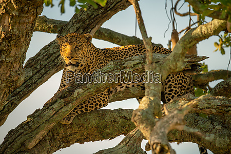 leopard lying in tree behind tangled