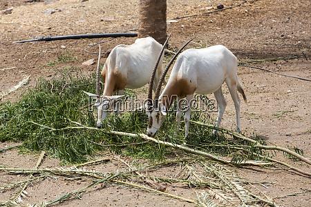 wild arabian oryx maha oryx leucoryx