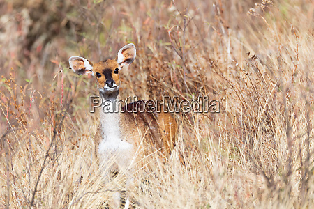 rare menelik bushbuck ethiopia africa wilderness