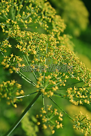 fennel foeniculum vulgare