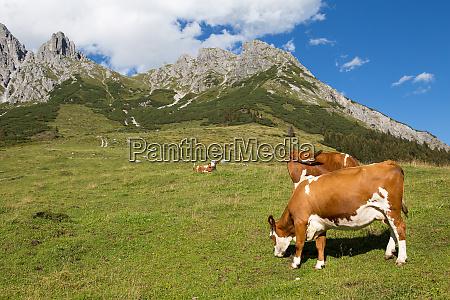 cows on austrian alp austria