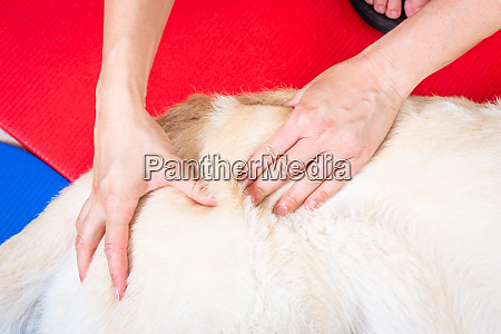 hands massage a dog in therapy