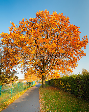red autumn oak tree