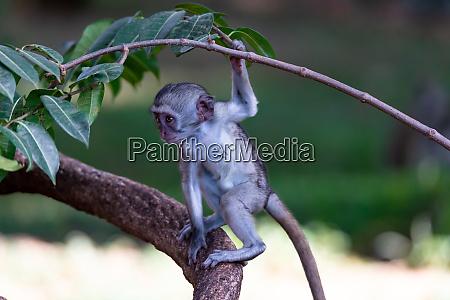 a monkey climbs around on a