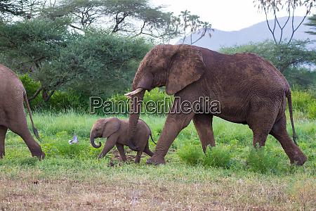 elephants walk among the trees and