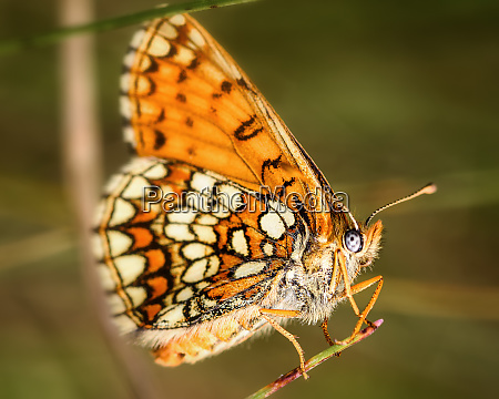 butterfly melitaea athalia side view close