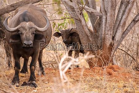 big and small buffalo watching between
