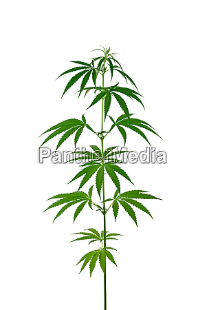 one fresh green cannabis plant isolated