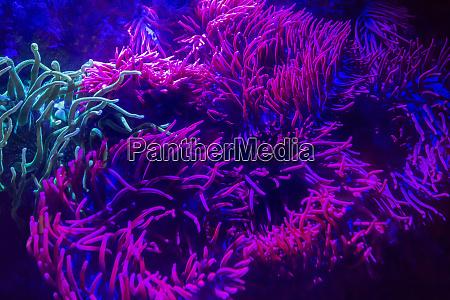 shining sea anemones