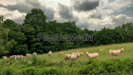 herd of cows in the countryside