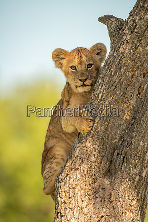 lion cub clings to tree watching