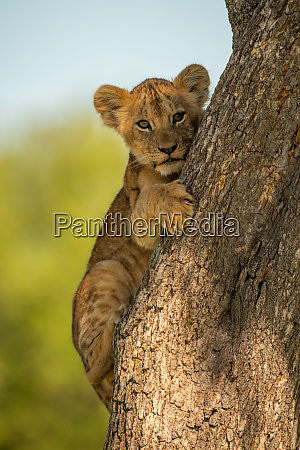 lion cub hugs tree while eyeing