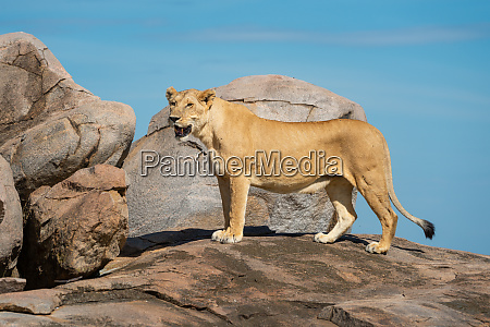 lioness stands on rock with open