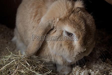 pet rabbit dwarf netherlands lop sits