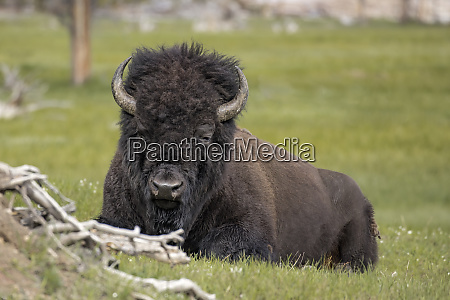 portrait of bison laying down