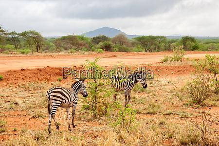zebras walking away scenery of kenya