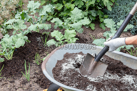 fertilizing broccoli plants a gardener mixes