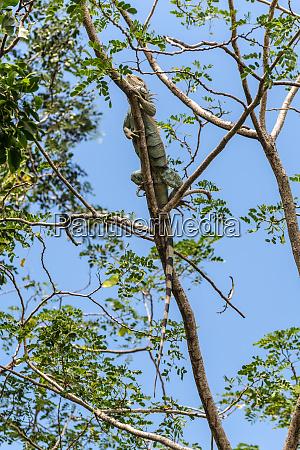iguana martinique caribbean