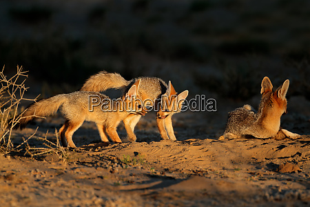 cape foxes at their den