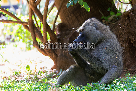 a baboon has found a fruit