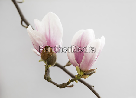 pink magnolia flowers isolated over white