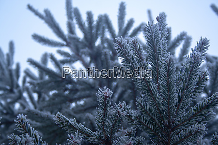frost spruce