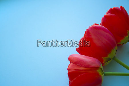 beautiful red tulips top view on
