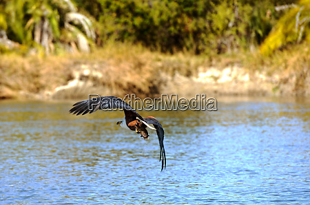 african african eagle preying over the