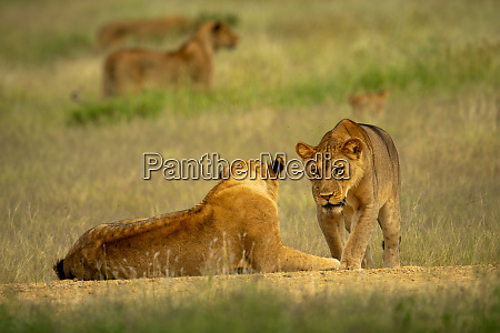 lioness walks over to another lying