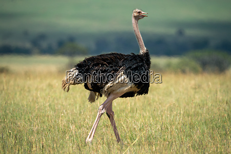 male common ostrich walks on bleached