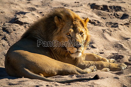 male lion lies on sand watching