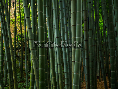 bamboo forest in japan a