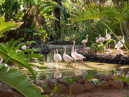 nice pink big bird greater flamingo