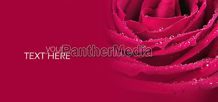 red roses with the copy space