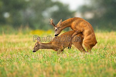 intimate mating behavior of roe deer