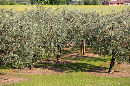 the olive grove in lazise at
