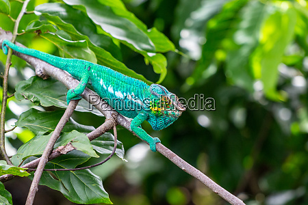 panther chameleon in lokobe nature special