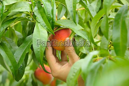 manual peach harvest green leaves