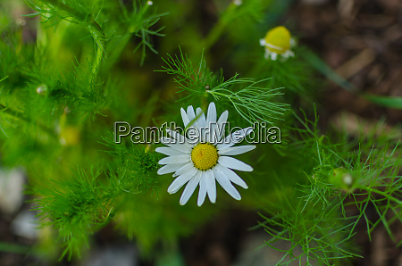 chamomile blossom in nature