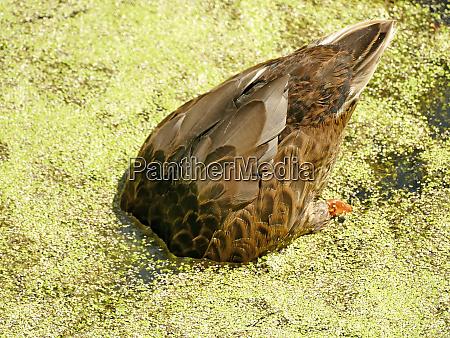 diving mallard hen in a pond