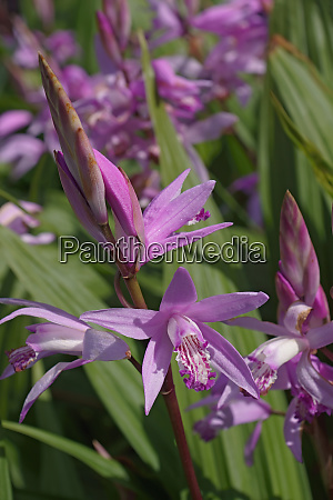 hyacinth orchid flowers
