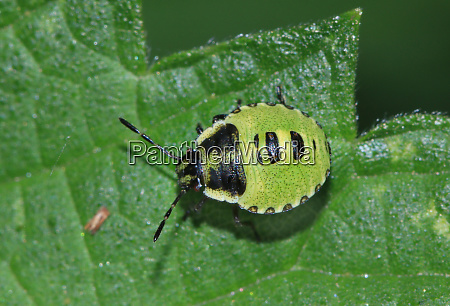 rhaphigaster nebulosa mottled shieldbug larva