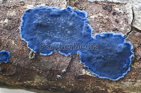 cobalt crust fungus terana caerulea