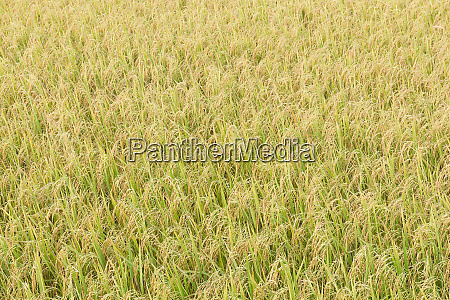 rice fields in the tropics