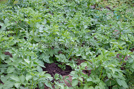 cultivation of fresh organic potatoes in